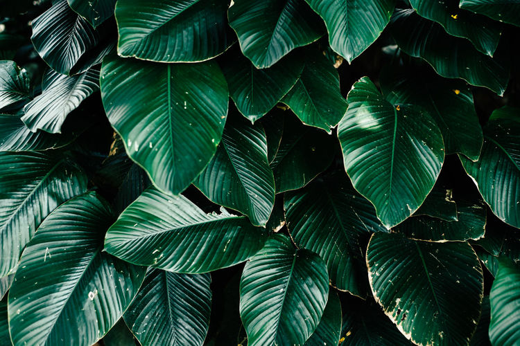 beautiful green leaves background wallpaper Beautiful Natural Nature Plant Raw Serenity Tranquility Background Botanical Ecology Environment Floral Foliage Garden Greenery Greenery Background Leaves Background Leaves Texture Lush Lush Foliage Outdoor Park Tropical Tropical Plants Wallpaper
