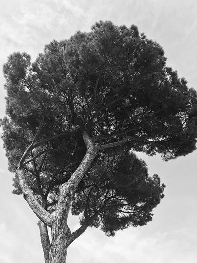 Stone Pine Black And White Blackandwhite Tree Stone Pine Plant Sky Tree Growth Nature No People Low Angle View Cloud - Sky Outdoors Tranquility Environment Beauty Positive Emotion Beauty In Nature Close-up Day Branch Digital Composite Flower Tree Low Angle View Beauty In Nature Growth Nature Plant Single Tree