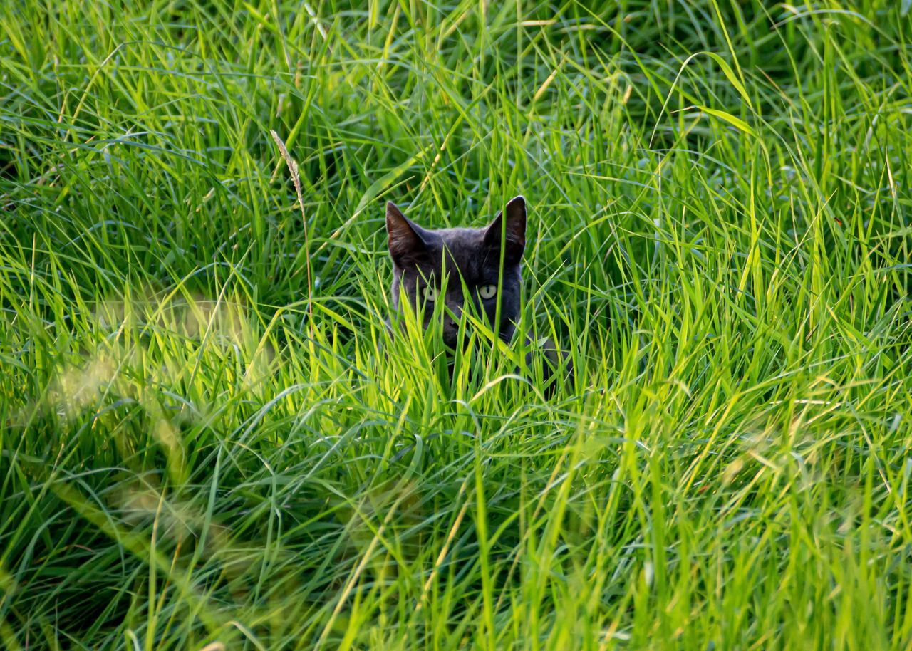 plant, grass, one animal, animal, animal themes, green color, mammal, vertebrate, domestic, pets, no people, nature, domestic animals, day, field, land, animal wildlife, growth, cat, animals in the wild