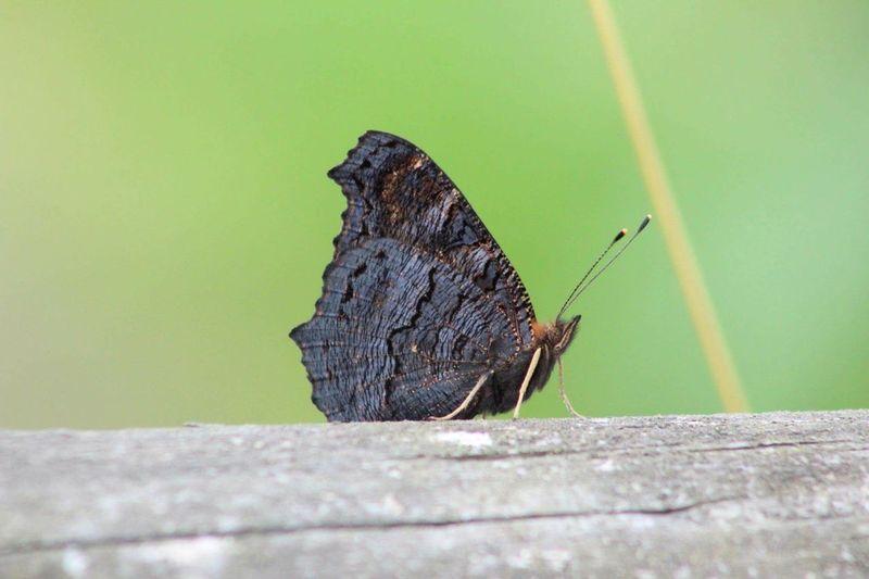 Moth Animal