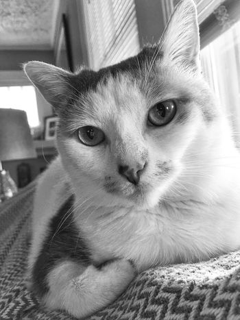 Pets One Animal Mammal Domestic Animals Domestic Domestic Cat Cat Looking At Camera Feline Portrait Close-up Indoors  Whisker Relaxation Animal Eye