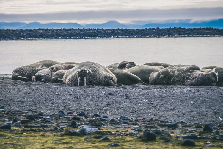 Walruses Relaxing On Shore At Beach
