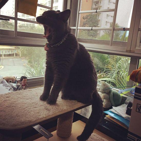 Pets One Animal Domestic Cat Domestic Animals Animal Themes Window Feline British Shorthair Bsh Whisker Cat Sitting Full Length No People