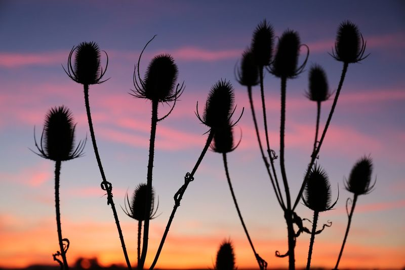 Teasel sunset Teasel Sky Plant Sunset Beauty In Nature Nature No People Cloud - Sky Growth Tranquility Silhouette Plant Stem Focus On Foreground Low Angle View Outdoors Close-up Fragility Vulnerability  Flowering Plant