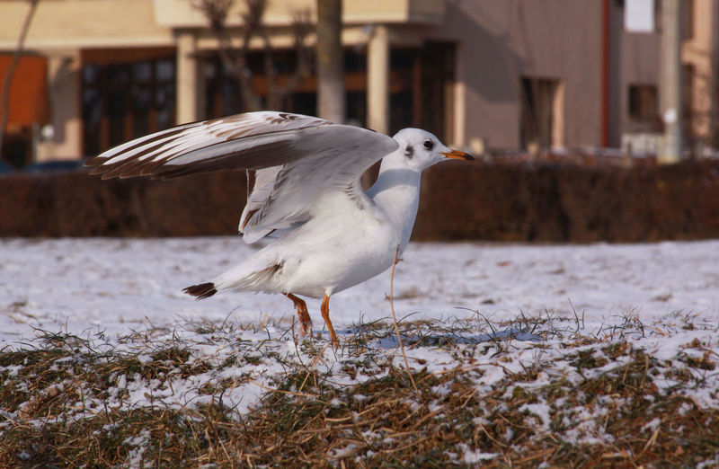 Seagull on a land
