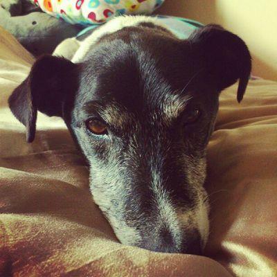 'Arrow sleepy face Jackrusselterrier Jackrussell Jackrussel Jrt dog doggy petsagram pet pets