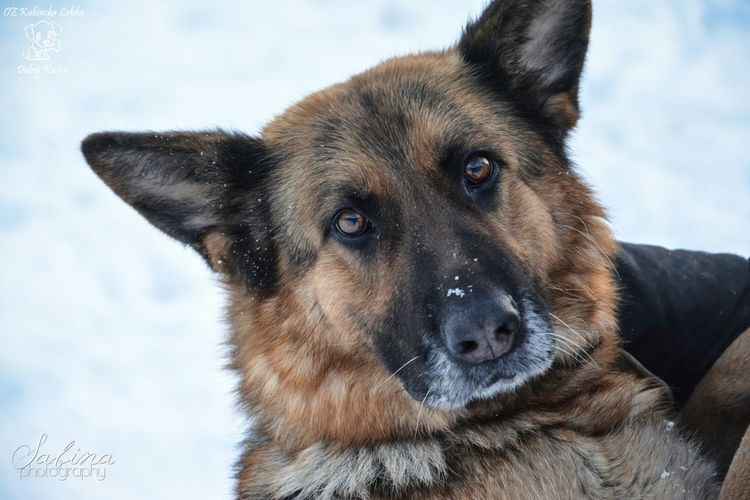 Stella found a home! :D I am soo happy :) Shelter Photography Winter Dog Animal German Shepherd Adorable Home Doglover Dog Walking