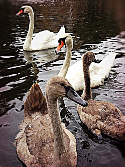 Ugly Duckling Swans Tadaa Community