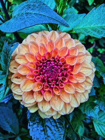 Flower Beauty In Nature Fragility Outdoors Raindrops Grandmothersgarden