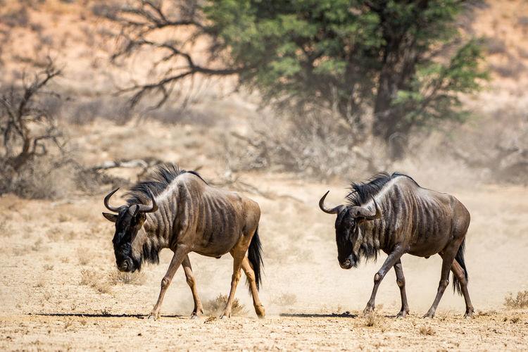 Two wildebeest in desert