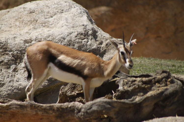 Gazelle on field