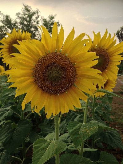 Sunflower Flowers Yellow Plants Agriculture Beautiful
