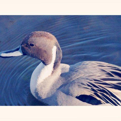 鳥 Birds オナガガモ