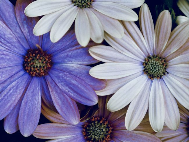 pale white and violet daisies Copy Space Backgrounds Beauty In Nature Close-up Decorative Directly Above Floral Pattern Flower Flower Head Flowering Plant Fragility Freshness Garden Growth Inflorescence Nature Osteospermum Outdoors Petal Plant Pollen Purple Springtime Violet Vulnerability