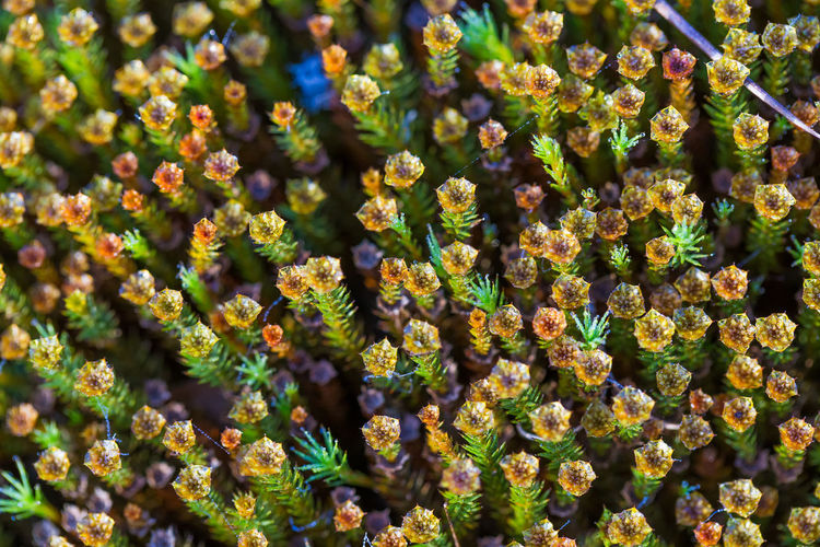 Beautiful closeup of a moss growing in natural habitat in swamp. Scenery of a wetland flora in Latvia, Northern Europe. Beauty In Nature Close-up Growth Moss Nature No People Outdoors Plant