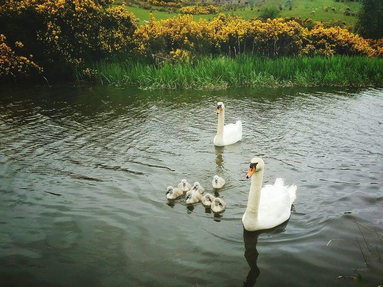 Falkirk Swans Cygnets Canal Walks