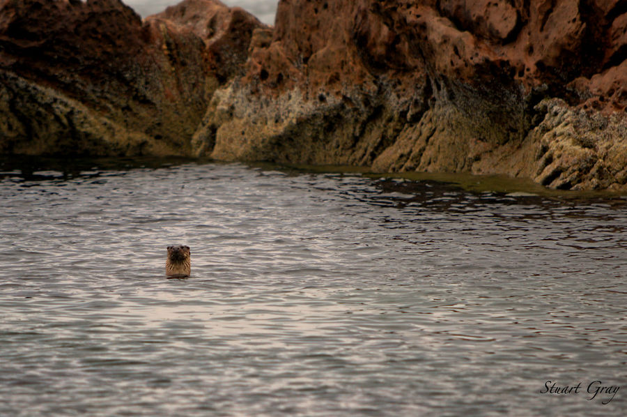 Hello there. Otter Animal Themes Animal Wildlife Animals In The Wild Day Mammal Nature No People One Animal Outdoors Rock - Object Swimming Water
