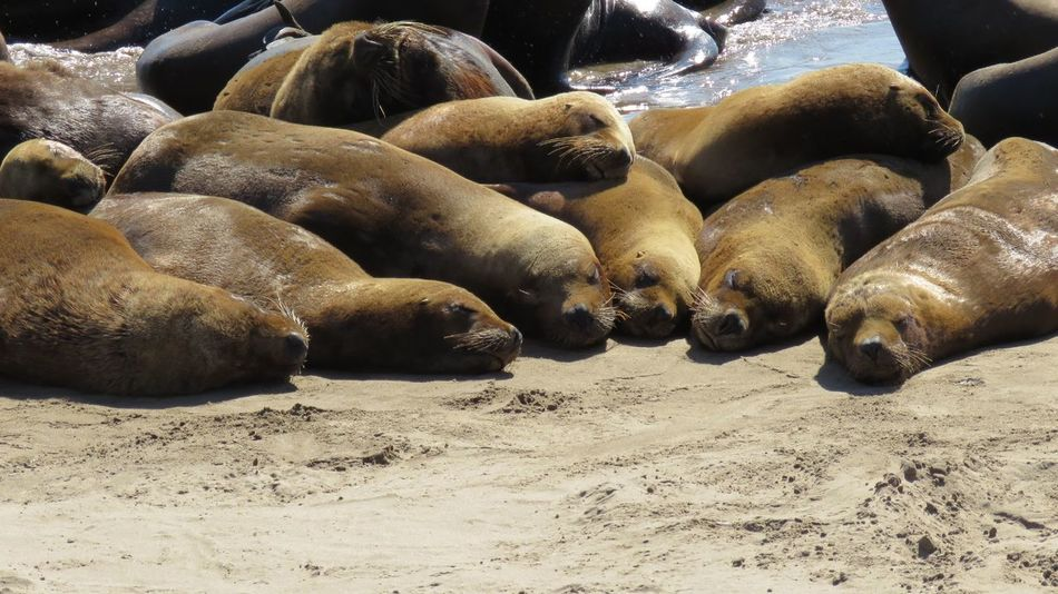 Animal Themes Animals In The Wild Beach Buenos Aires, Argentina  Day Large Group Of Animals Nature Necochea. Argentina No People Outdoors Sea Sea Lion Seal - Animal Sunlight Water