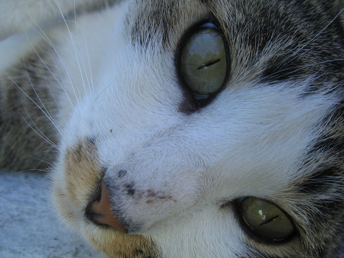my favorite cat Animal Body Part Animal Eye Animal Head  Animal Themes Carnivora Cat Close-up Day Domestic Animals Domestic Cat Feline Focus On Foreground Looking At Camera Mammal Nature No People One Animal Outdoors Pets Portrait Siamese Cat Whisker White Color Yellow Eyes
