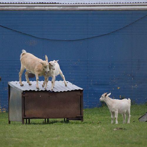 Goats on grassy field