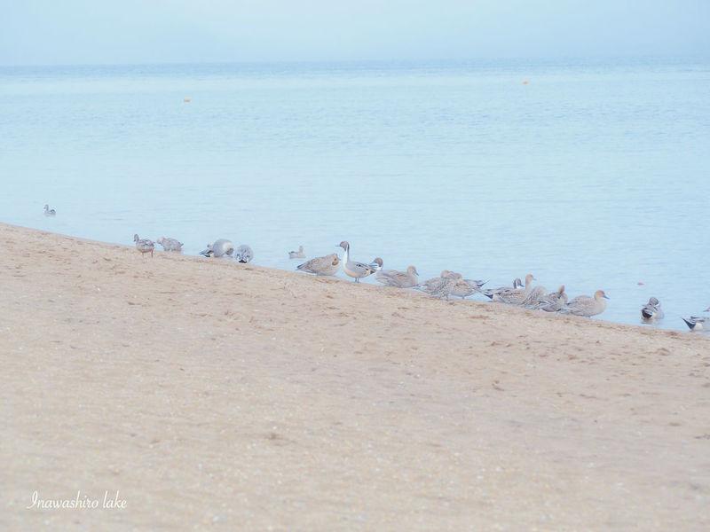猪苗代湖 オナガガモ