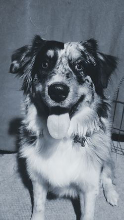 Australianshepherd Dog Pretty Happy Smiles Tounge Goodgirl Beautiful Aussie Aussienation