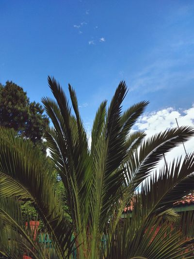 Tree Peacock Palm Tree Frond Blue Leaf Peacock Feather Sky Green Color
