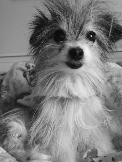 Bedhair. Dog Pets Animal Themes Domestic Animals One Animal Portrait Looking At Camera Mammal Animal Hair Indoors  No People Close-up Chihuahua Chihuahua Love ♥ Shih Tzu Cross Crossbreed Puppy Day Bedhair
