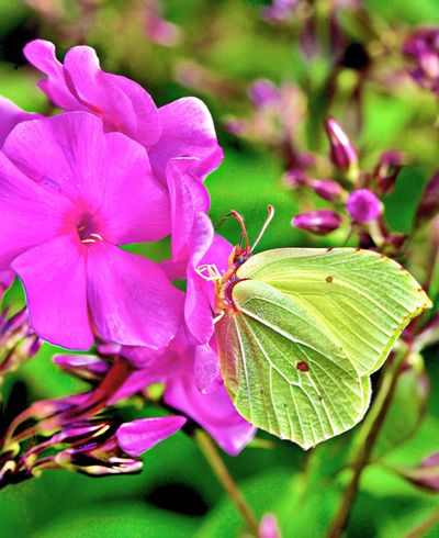 Flower Nature Pink Color Fragility Growth One Animal Beauty In Nature Insect Leaf Petal Plant No People Close-up Day Outdoors Freshness Animals In The Wild Flower Head Animal Themes Buterfly Beauty In Nature Buterfly🌸 Buterflyflowers Buterfly Of EyeEm Buterfly 🌺🌺🌺 Investing In Quality Of Life