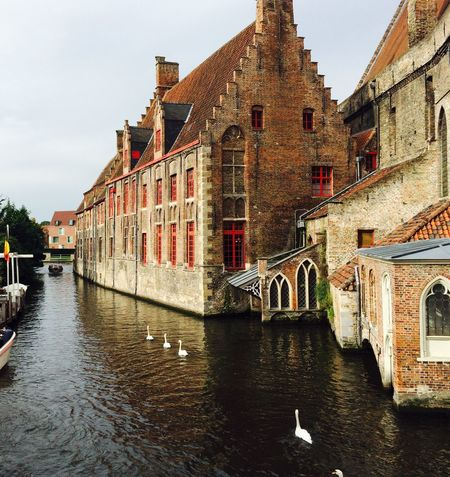 Swan Swans on a Canal Architecture Old Buildings