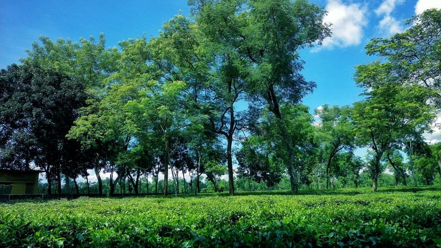 Tea Garden Beauty In Nature Green Color Sunny Day 🌞 Mobile Photography Peaceful Nature