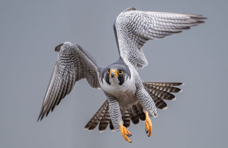 Falcon flying against clear sky