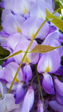 One of the multiple colors of Spring! Wisteria Wisteria Flowers Wisteria In Full Bloom Wisteria Blooms Wisteria Colour Spring Spring Flowers Flower Purple Freshness Fragility Beauty In Nature Nature Petal Flower Head Close-up Plant Full Frame Growth Day Outdoors No People EyeAmNewHere