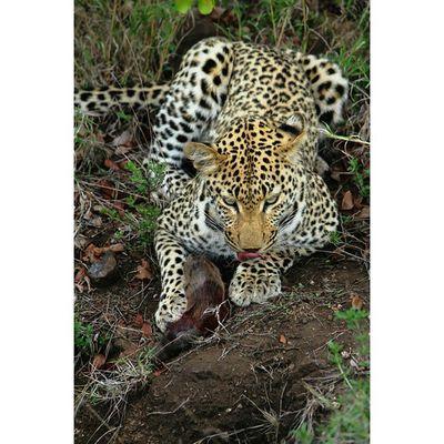 Leopard eating Warthog Piglet Kill @Animals in Krugernationalpark Natureaddict Animalsaddict Squaredroid Wildlife Igersmp Africa Africanamazing Multi_animals_in_nature