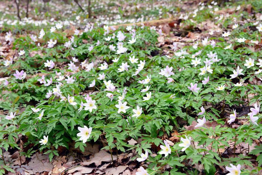 wood anemone (Anemone nemorosa) blossom in springtime. Anemone Anemone Flower Anemones Buschwindröschen European  Forest Spring Flowers White Flower Windflower