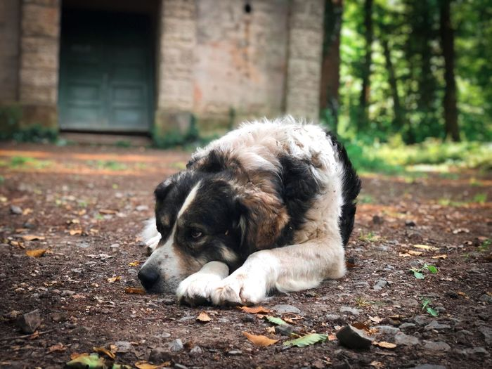 Old dog resting on the ground