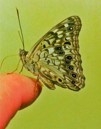 Butterfly New Friend Butterfly On My Finger Sitting Butterfly Insect Photography Insects  Tame It's Me Animal Lover