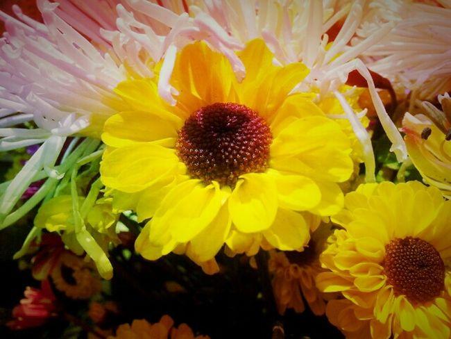 Flowers Beauty Girasol Perfection