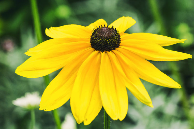 Close-up of yellow flower Berlin Germany 🇩🇪 Deutschland Horizontal Beauty In Nature Black-eyed Susan Blooming Close-up Color Image Day Flower Flower Head Focus On Foreground Fragility Freshness Growth Nature No People Outdoors Park Petal Plant Pollen Tiergarten Berlin Yellow