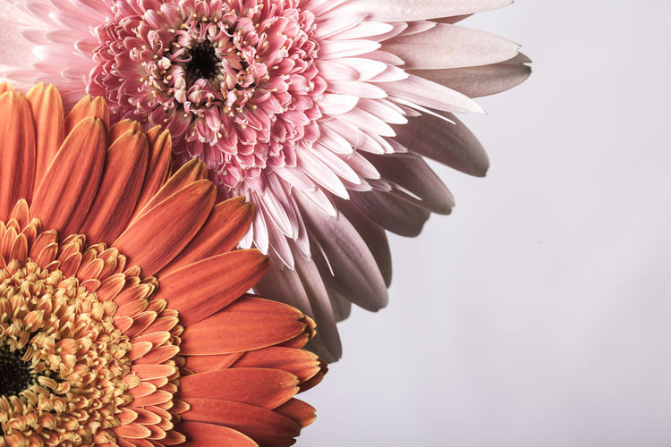 Beautiful pink and orange gerber daisies on white background Beauty In Nature Blooming Close-up Day Flower Flower Head Fragility Freshness Growth Nature No People Outdoors Petal Plant Pollen Studio Shot White Background Zinnia