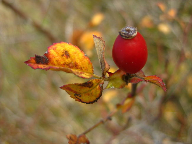 Autumn Beauty In Nature Close-up Dog Rose Nature Plant Rose Hip Nature's Diversities