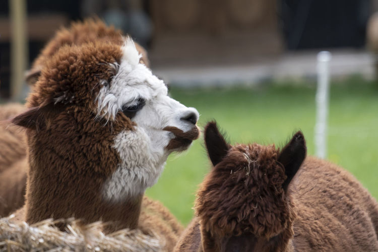 Brown white alpaca, in front of a brown alpaca. selective focus  photo of heads.