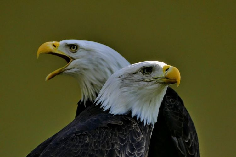 Close-up of bald eagles against green background