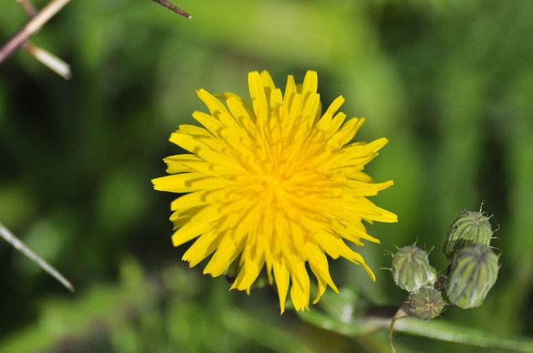 Yellow Flower Nature Fragility Flower Head Beauty In Nature Freshness Plant Petal Growth Close-up Outdoors Pollen No People Leaf Day Nature_collection