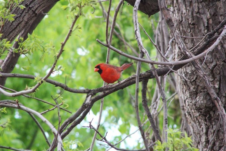 My backyard.. little piece of Heaven Loved One Cardinal Birds A Special Visit Tree Branch Animal Wildlife Plant Animals In The Wild Bird Animal Themes Animal Perching Vertebrate Nature Day No People One Animal Red Growth Outdoors Focus On Foreground Beauty In Nature