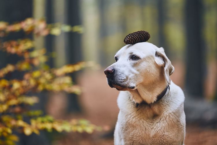 Dog with pine cone looking away in forest during autumn