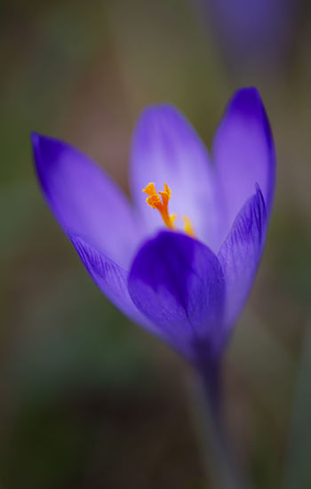 sunrise Beauty In Nature Close-up Crocus Day Flower Flower Head Fragility Freshness Inflorescence Nature No People Outdoors Petal Plant Purple