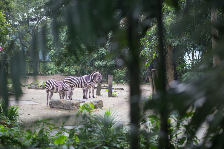 Side view of zebra standing against trees