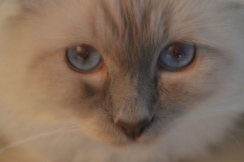Looking At Camera Close-up Birmancats Looking My Cat♥