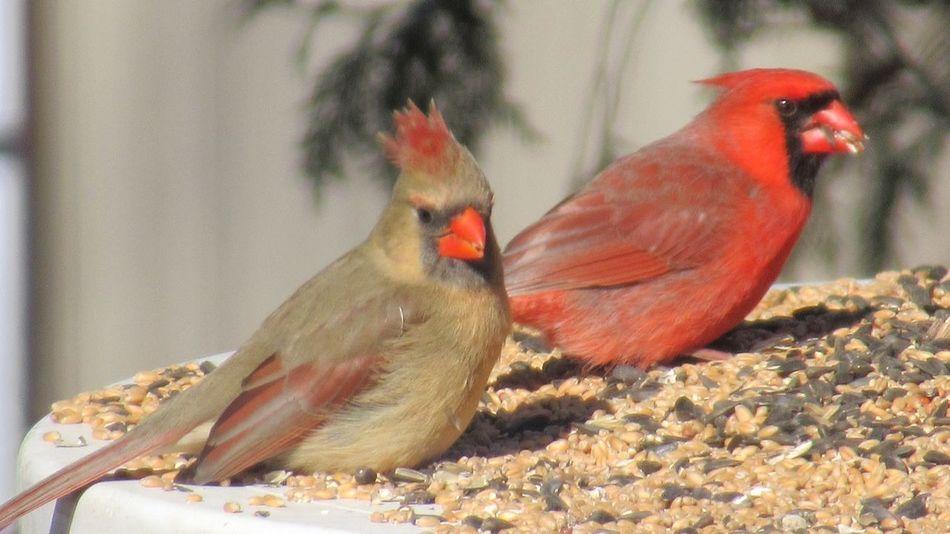 EyeEm Selects Bird Animal Themes Animal Vertebrate One Animal Animals In The Wild Animal Wildlife Cardinal - Bird Day Red Perching Nature Beauty In Nature